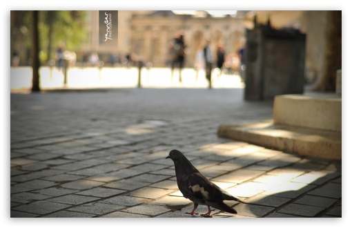 Pigeon ❤ 4K UHD Wallpaper for Wide 16:10 Widescreen WHXGA WQXGA WUXGA WXGA ; Standard 4:3 5:4 3:2 Fullscreen UXGA XGA SVGA QSXGA SXGA DVGA HVGA HQVGA ( Apple PowerBook G4 iPhone 4 3G 3GS iPod Touch ) ; Tablet 1:1 ; iPad 1/2/Mini ; Mobile 4:3 3:2 5:4 - UXGA XGA SVGA DVGA HVGA HQVGA ( Apple PowerBook G4 iPhone 4 3G 3GS iPod Touch ) QSXGA SXGA ;