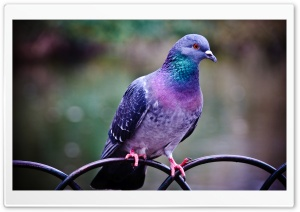 Pigeon HD Wide Wallpaper for Widescreen