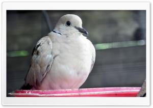 Pigeon Ultra HD Wallpaper for 4K UHD Widescreen desktop, tablet & smartphone