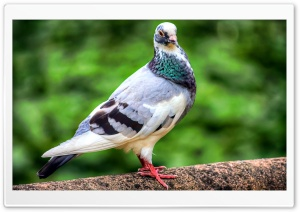Pigeon Bird HD Wide Wallpaper for Widescreen