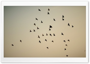 Pigeon Flock HD Wide Wallpaper for Widescreen