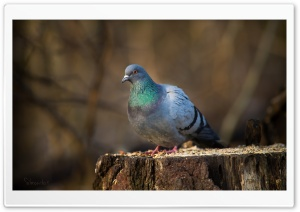 Pigeon On A Stump HD Wide Wallpaper for Widescreen