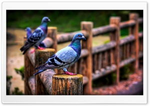 Pigeons HD Wide Wallpaper for Widescreen