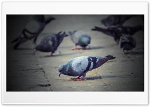 Pigeons DSC 0037 HD Wide Wallpaper for 4K UHD Widescreen desktop & smartphone