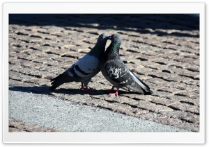 Pigeons Love HD Wide Wallpaper for Widescreen