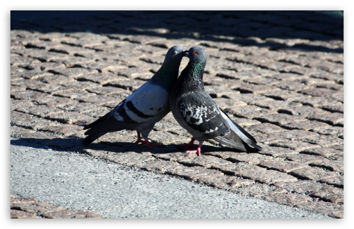 Pigeons Love UltraHD Wallpaper for Wide 16:10 5:3 Widescreen WHXGA WQXGA WUXGA WXGA WGA ; 8K UHD TV 16:9 Ultra High Definition 2160p 1440p 1080p 900p 720p ; Standard 4:3 5:4 3:2 Fullscreen UXGA XGA SVGA QSXGA SXGA DVGA HVGA HQVGA ( Apple PowerBook G4 iPhone 4 3G 3GS iPod Touch ) ; Tablet 1:1 ; iPad 1/2/Mini ; Mobile 4:3 5:3 3:2 16:9 5:4 - UXGA XGA SVGA WGA DVGA HVGA HQVGA ( Apple PowerBook G4 iPhone 4 3G 3GS iPod Touch ) 2160p 1440p 1080p 900p 720p QSXGA SXGA ; Dual 5:4 QSXGA SXGA ;
