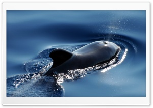 Pilot Whale HD Wide Wallpaper for Widescreen