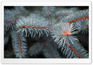 Pine Branch HD Wide Wallpaper for Widescreen