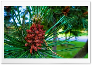 Pine Buds HD Wide Wallpaper for Widescreen