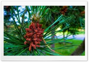 Pine Buds HD Wide Wallpaper for Widescreen
