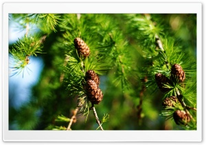 Pine Cones Spring HD Wide Wallpaper for 4K UHD Widescreen desktop & smartphone