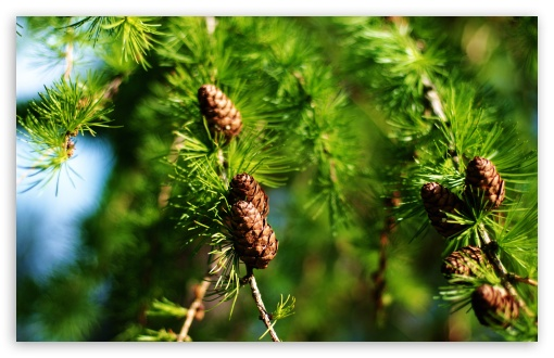 Pine Cones Spring ❤ 4K UHD Wallpaper for Wide 16:10 5:3 Widescreen WHXGA WQXGA WUXGA WXGA WGA ; 4K UHD 16:9 Ultra High Definition 2160p 1440p 1080p 900p 720p ; Standard 4:3 5:4 3:2 Fullscreen UXGA XGA SVGA QSXGA SXGA DVGA HVGA HQVGA ( Apple PowerBook G4 iPhone 4 3G 3GS iPod Touch ) ; Tablet 1:1 ; iPad 1/2/Mini ; Mobile 4:3 5:3 3:2 16:9 5:4 - UXGA XGA SVGA WGA DVGA HVGA HQVGA ( Apple PowerBook G4 iPhone 4 3G 3GS iPod Touch ) 2160p 1440p 1080p 900p 720p QSXGA SXGA ;