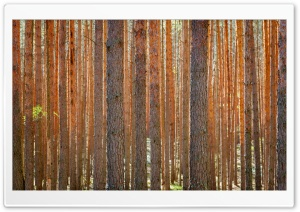 Pine Forest HD Wide Wallpaper for Widescreen