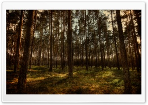 Pine Forest, HDR HD Wide Wallpaper for Widescreen