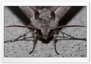 pine hawkmoth, Kiefernschwrmer HD Wide Wallpaper for Widescreen