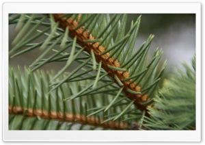 Pine Needles HD Wide Wallpaper for Widescreen
