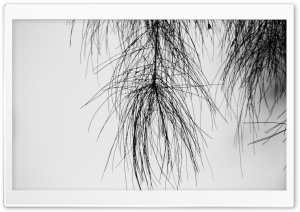 Pine Needles Black and White HD Wide Wallpaper for Widescreen