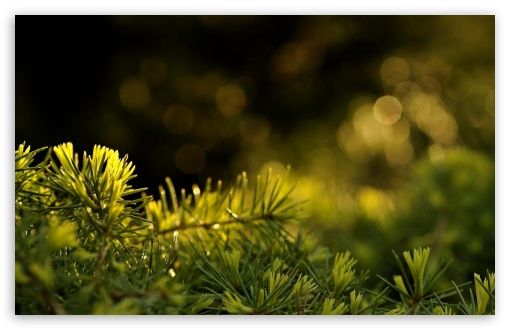 Pine Needles Bokeh HD wallpaper for Wide 16:10 5:3 Widescreen WHXGA WQXGA WUXGA WXGA WGA ; HD 16:9 High Definition WQHD QWXGA 1080p 900p 720p QHD nHD ; Standard 4:3 5:4 3:2 Fullscreen UXGA XGA SVGA QSXGA SXGA DVGA HVGA HQVGA devices ( Apple PowerBook G4 iPhone 4 3G 3GS iPod Touch ) ; Tablet 1:1 ; iPad 1/2/Mini ; Mobile 4:3 5:3 3:2 16:9 5:4 - UXGA XGA SVGA WGA DVGA HVGA HQVGA devices ( Apple PowerBook G4 iPhone 4 3G 3GS iPod Touch ) WQHD QWXGA 1080p 900p 720p QHD nHD QSXGA SXGA ; Dual 16:10 5:3 4:3 5:4 WHXGA WQXGA WUXGA WXGA WGA UXGA XGA SVGA QSXGA SXGA ;