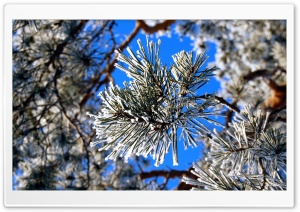 Pine Needles, Winter HD Wide Wallpaper for Widescreen