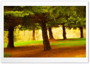 Pine Trees HD Wide Wallpaper for Widescreen