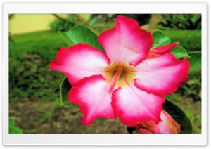 Pink & White Flower HD Wide Wallpaper for Widescreen