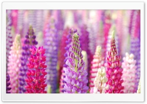 Pink And Purple Lupin Flowers HD Wide Wallpaper for 4K UHD Widescreen desktop & smartphone