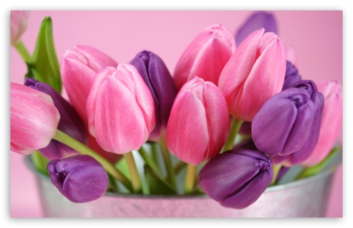 Pink And Purple Tulips HD wallpaper for Wide 16:10 5:3 Widescreen WHXGA WQXGA WUXGA WXGA WGA ; HD 16:9 High Definition WQHD QWXGA 1080p 900p 720p QHD nHD ; Standard 4:3 5:4 3:2 Fullscreen UXGA XGA SVGA QSXGA SXGA DVGA HVGA HQVGA devices ( Apple PowerBook G4 iPhone 4 3G 3GS iPod Touch ) ; Tablet 1:1 ; iPad 1/2/Mini ; Mobile 4:3 5:3 3:2 16:9 5:4 - UXGA XGA SVGA WGA DVGA HVGA HQVGA devices ( Apple PowerBook G4 iPhone 4 3G 3GS iPod Touch ) WQHD QWXGA 1080p 900p 720p QHD nHD QSXGA SXGA ;