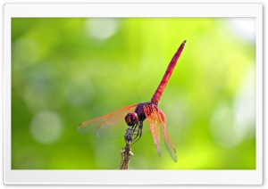 Pink And Red Dragonfly HD Wide Wallpaper for Widescreen