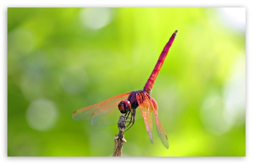 Pink And Red Dragonfly HD wallpaper for Wide 16:10 5:3 Widescreen WHXGA WQXGA WUXGA WXGA WGA ; HD 16:9 High Definition WQHD QWXGA 1080p 900p 720p QHD nHD ; Standard 4:3 5:4 3:2 Fullscreen UXGA XGA SVGA QSXGA SXGA DVGA HVGA HQVGA devices ( Apple PowerBook G4 iPhone 4 3G 3GS iPod Touch ) ; Tablet 1:1 ; iPad 1/2/Mini ; Mobile 4:3 5:3 3:2 16:9 5:4 - UXGA XGA SVGA WGA DVGA HVGA HQVGA devices ( Apple PowerBook G4 iPhone 4 3G 3GS iPod Touch ) WQHD QWXGA 1080p 900p 720p QHD nHD QSXGA SXGA ;