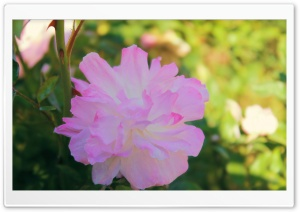 Pink And White Flower HD Wide Wallpaper for Widescreen