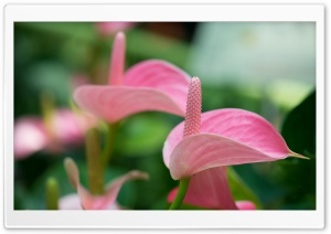 Pink Anthurium HD Wide Wallpaper for Widescreen