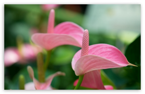 Pink Anthurium ❤ 4K UHD Wallpaper for Wide 16:10 5:3 Widescreen WHXGA WQXGA WUXGA WXGA WGA ; 4K UHD 16:9 Ultra High Definition 2160p 1440p 1080p 900p 720p ; Standard 4:3 5:4 3:2 Fullscreen UXGA XGA SVGA QSXGA SXGA DVGA HVGA HQVGA ( Apple PowerBook G4 iPhone 4 3G 3GS iPod Touch ) ; Tablet 1:1 ; iPad 1/2/Mini ; Mobile 4:3 5:3 3:2 16:9 5:4 - UXGA XGA SVGA WGA DVGA HVGA HQVGA ( Apple PowerBook G4 iPhone 4 3G 3GS iPod Touch ) 2160p 1440p 1080p 900p 720p QSXGA SXGA ; Dual 5:4 QSXGA SXGA ;