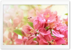 Pink Apple Flowers HD Wide Wallpaper for Widescreen