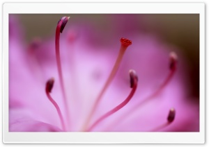 Pink Azalea HD Wide Wallpaper for Widescreen