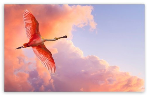 Pink Bird Flying ❤ 4K UHD Wallpaper for Wide 16:10 5:3 Widescreen WHXGA WQXGA WUXGA WXGA WGA ; 4K UHD 16:9 Ultra High Definition 2160p 1440p 1080p 900p 720p ; Standard 4:3 5:4 3:2 Fullscreen UXGA XGA SVGA QSXGA SXGA DVGA HVGA HQVGA ( Apple PowerBook G4 iPhone 4 3G 3GS iPod Touch ) ; Tablet 1:1 ; iPad 1/2/Mini ; Mobile 4:3 5:3 3:2 16:9 5:4 - UXGA XGA SVGA WGA DVGA HVGA HQVGA ( Apple PowerBook G4 iPhone 4 3G 3GS iPod Touch ) 2160p 1440p 1080p 900p 720p QSXGA SXGA ;