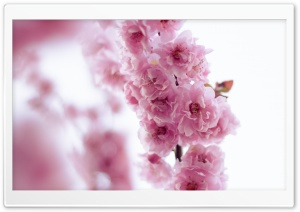 Pink Blossom HD Wide Wallpaper for Widescreen