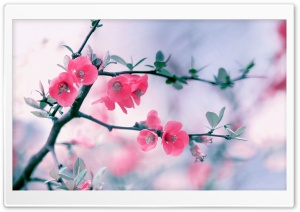 Pink Blossom Flowers, Spring HD Wide Wallpaper for Widescreen