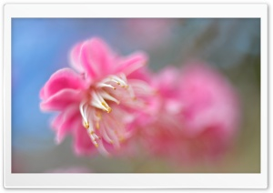 Pink Blossom Macro HD Wide Wallpaper for Widescreen