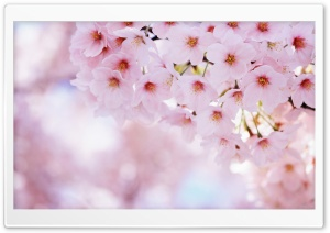 Pink Blossom Tree HD Wide Wallpaper for Widescreen