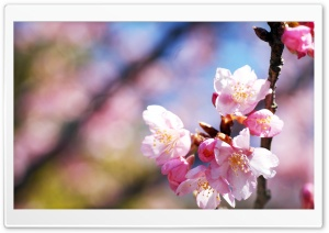 Pink Blossoms, Spring HD Wide Wallpaper for Widescreen