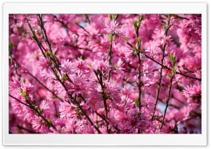 Pink Blossoms Tree HD Wide Wallpaper for Widescreen