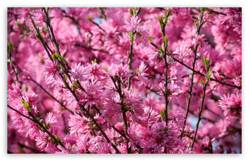 Pink Blossoms Tree ❤ 4K UHD Wallpaper for Wide 16:10 5:3 Widescreen WHXGA WQXGA WUXGA WXGA WGA ; 4K UHD 16:9 Ultra High Definition 2160p 1440p 1080p 900p 720p ; UHD 16:9 2160p 1440p 1080p 900p 720p ; Standard 4:3 5:4 3:2 Fullscreen UXGA XGA SVGA QSXGA SXGA DVGA HVGA HQVGA ( Apple PowerBook G4 iPhone 4 3G 3GS iPod Touch ) ; Smartphone 5:3 WGA ; Tablet 1:1 ; iPad 1/2/Mini ; Mobile 4:3 5:3 3:2 16:9 5:4 - UXGA XGA SVGA WGA DVGA HVGA HQVGA ( Apple PowerBook G4 iPhone 4 3G 3GS iPod Touch ) 2160p 1440p 1080p 900p 720p QSXGA SXGA ;