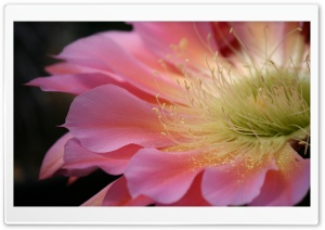 Pink Cactus Flower HD Wide Wallpaper for Widescreen
