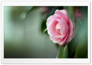 Pink Camellia Flower Ultra HD Wallpaper for 4K UHD Widescreen desktop, tablet & smartphone
