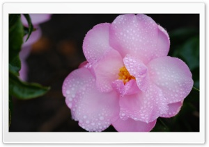 Pink Camellia Flower Macro Ultra HD Wallpaper for 4K UHD Widescreen desktop, tablet & smartphone