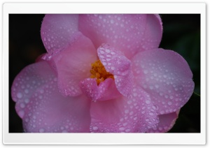 Pink Camellia Flower, Water Drops, Macro Ultra HD Wallpaper for 4K UHD Widescreen desktop, tablet & smartphone