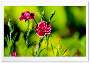 Pink Carnation Flowers HD Wide Wallpaper for Widescreen