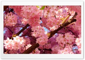 Pink Cherry Blossom HD Wide Wallpaper for 4K UHD Widescreen desktop & smartphone