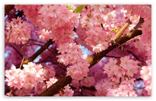 Pink Cherry Blossom ❤ 4K UHD Wallpaper for Wide 16:10 5:3 Widescreen WHXGA WQXGA WUXGA WXGA WGA ; 4K UHD 16:9 Ultra High Definition 2160p 1440p 1080p 900p 720p ; Standard 4:3 5:4 3:2 Fullscreen UXGA XGA SVGA QSXGA SXGA DVGA HVGA HQVGA ( Apple PowerBook G4 iPhone 4 3G 3GS iPod Touch ) ; Tablet 1:1 ; iPad 1/2/Mini ; Mobile 4:3 5:3 3:2 16:9 5:4 - UXGA XGA SVGA WGA DVGA HVGA HQVGA ( Apple PowerBook G4 iPhone 4 3G 3GS iPod Touch ) 2160p 1440p 1080p 900p 720p QSXGA SXGA ;