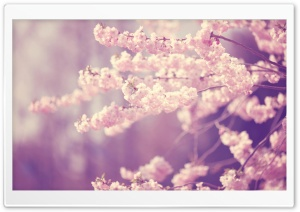 Pink Cherry Blossom HD Wide Wallpaper for Widescreen